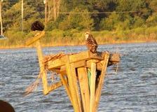 Ospreys auf dem Patuxent-Fluss in Maryland Lizenzfreie Stockbilder