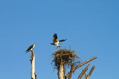 Ospreys Building Nest Stock Image