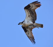 Ospreys catch Stock Photos
