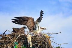 Ospreys di incastramento Fotografie Stock