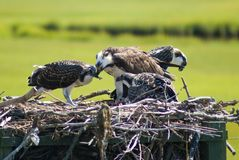 Ospreys (feeding) royalty free stock photography