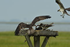 Ospreys feeding on a fish. In Forsythe Reserve Royalty Free Stock Image