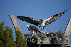 Ospreys in nest Stock Photo