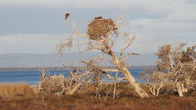 Ospreys Nest Royalty Free Stock Images