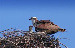 Ospreys Stock Photos