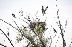 Ospreys perched near their nest on a dead tree. royalty free stock images