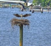 Ospreys sur les milles fleuve, le Maryland Image libre de droits