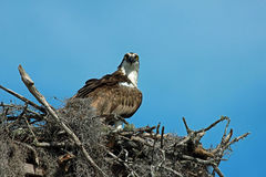 Ospreyverschachtelung Stockfotos