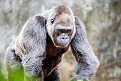 Osrebrza z powrotem goryla przyglądającego ostrzeżenie i grozić przeciw naturalnemu Zdjęcie Royalty Free