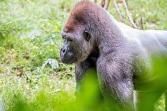 Osrebrza z powrotem goryla przyglądającego ostrzeżenie i grozić przeciw naturalnemu Zdjęcia Stock