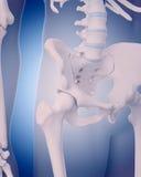 Ossa dell'anca illustrazione vettoriale