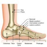 Ossa dell'illustrazione medica di vettore dell'articolazione della caviglia e del piede isolata su fondo bianco illustrazione vettoriale