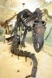 Ossa di dinosauro Fotografia Stock Libera da Diritti