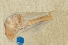 Ossa di dinosauro che scavano modello Immagine Stock