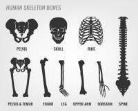Ossa di scheletro umane Fotografie Stock Libere da Diritti