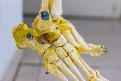 Ossa tarsali articolate delle falangi e del metatarseo che mostrano anatomia umana dell'articolazione della caviglia nel fondo bi illustrazione di stock