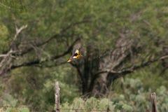 Ossen Oriole tijdens de vlucht Stock Foto