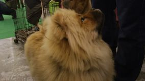 Ossequi aspettanti del cane piacevole di Chow Chow ed esaminare proprietario, animale domestico di razza lanuginoso archivi video