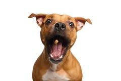 Ossequi rossi del fermo del cane del meticcio immagini stock libere da diritti