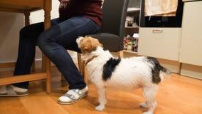 Ossequio aspettante di Jack Russell Terrier accanto al padrone che si siede alla tavola sul pavimento di legno a casa fotografia stock libera da diritti