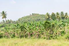 Osservare impressionante della banana che coltiva il giorno soleggiato Fotografie Stock