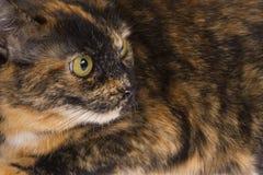 Osservatore del gatto Fotografie Stock Libere da Diritti