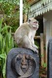 Osservazione del macaco Fotografia Stock