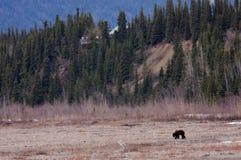 Osservazione dell'orso nella sosta nazionale di Denali fotografie stock libere da diritti