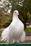 Osservi del piccione fotografia stock libera da diritti