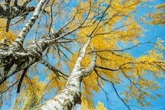 Osservi fino agli alberi di betulla di autunno con le foglie gialle Immagini Stock