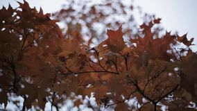Osservi la foglia di acero gialla e rossa variopinta sul ramo dell'albero nel parco di autunno nave stock footage