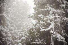 Osservi la nevicata della neve del paesaggio coperta sul pino in cima alla montagna Fotografie Stock