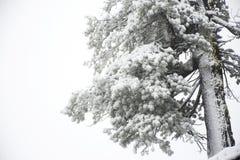 Osservi la nevicata della neve del paesaggio coperta sul pino in cima alla montagna Fotografia Stock Libera da Diritti