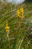 Ossifragum del Narthecium fotografie stock