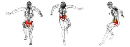 osso anca Imagem de Stock