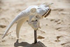Osso branco animal da cabeça do crânio na praia selvagem, Galápagos Imagem de Stock Royalty Free