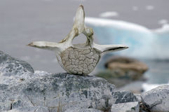 Osso Continente antárctico da baleia Imagem de Stock