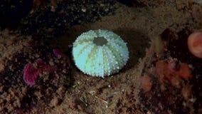 Osso de esqueleto do diabrete de mar subaquático no fundo do mar da vida marinha filme