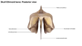 Osso Ethmoid del cranio Fotografia Stock Libera da Diritti