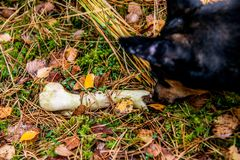 Osso trovato dal cane fotografie stock libere da diritti