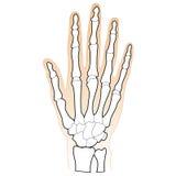 Ossos da mão humana Foto de Stock Royalty Free