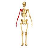 Ossos de esqueleto do braço e da mão ilustração do vetor