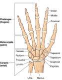 Ossos de mão Imagens de Stock