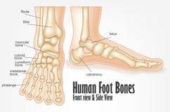 Ossos de pé humano dianteiros e anatomia da vista lateral Fotografia de Stock
