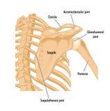 Ossos do ombro direito ilustração do vetor