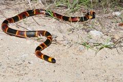 Ost-Coral Snake Lizenzfreie Stockbilder
