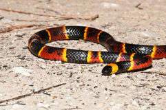 Ost-Coral Snake Stockfoto
