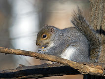 Ost-Gray Squirrel Eating Peanut Lizenzfreies Stockfoto