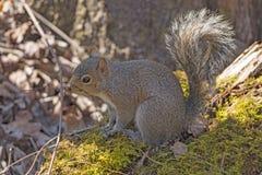 Ost-Gray Squirrel im Wald Stockfoto