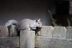 Ost-Gray Squirrel Sitting auf Zaun Stockfoto